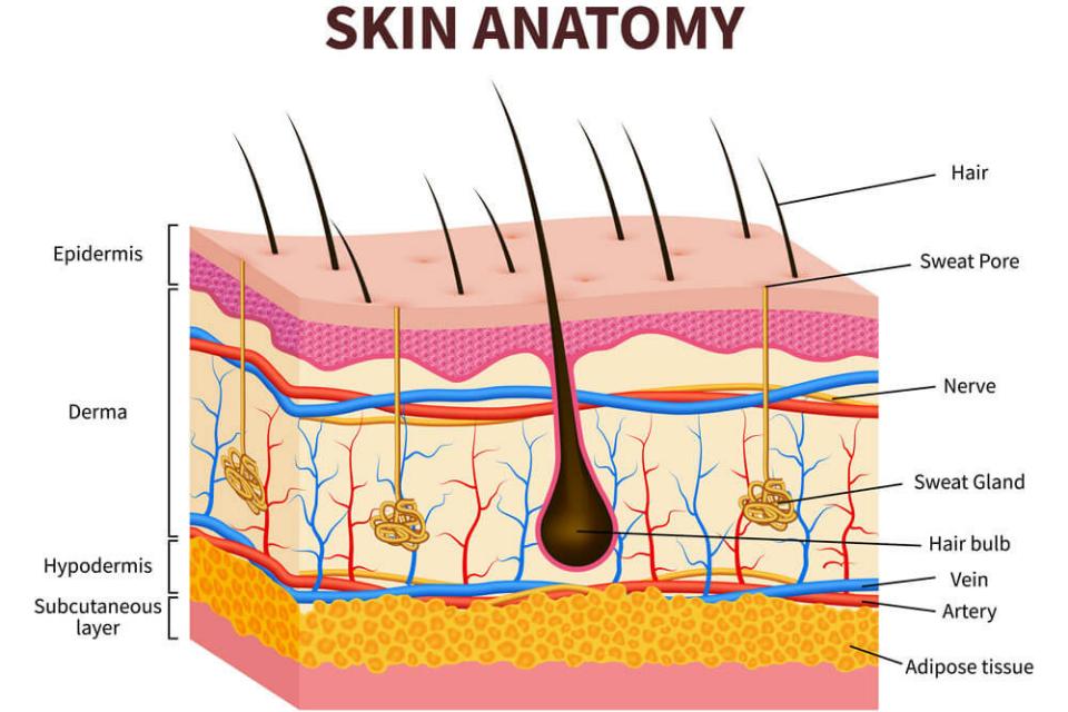 اسکین آناتومی